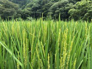 今年も美味しいお米が育っています。